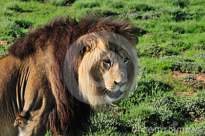 A Kalahari lion, Panthera leo
