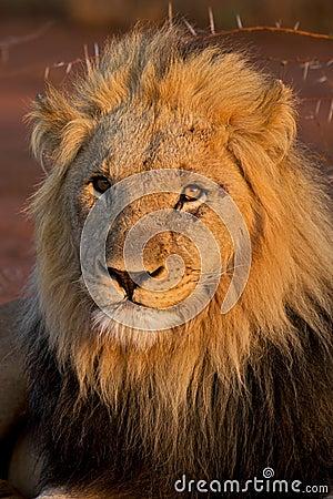 Kalahari male lion