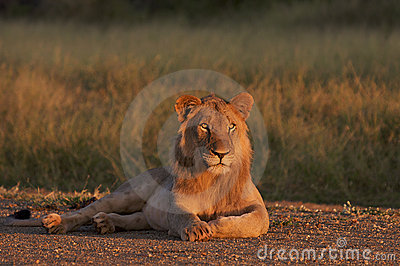 Kalahari male lion