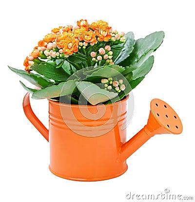 Free Kalanchoe Flower Stock Photography - 22732412