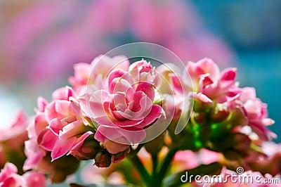 Kalanchoe flower blossoms