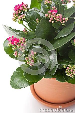 Kalanchoe house plant