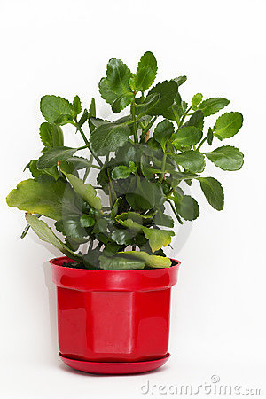 Free Kalanchoe Plant In A Flower-pot Stock Photography - 10834992