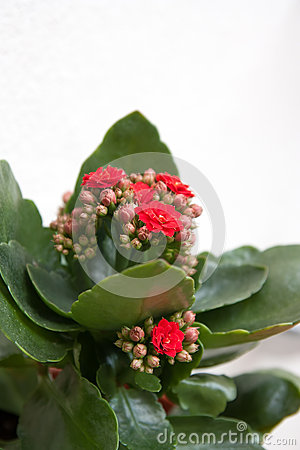 Free Kalanchoe With Red Flowers Stock Photography - 35542102