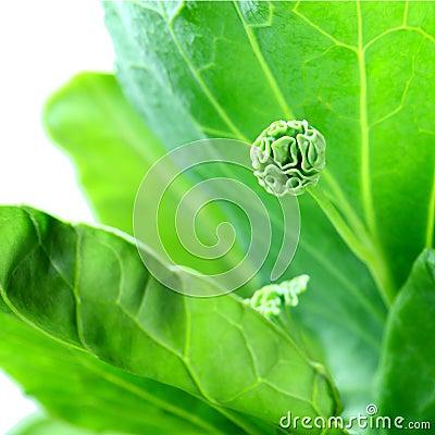Free Kale. Royalty Free Stock Image - 32768536