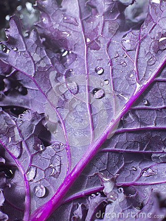 Free Kale Leaf Stock Photos - 26008893