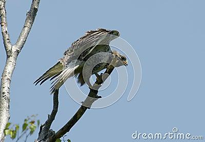 Kamchatkan rough-legged buzzard.