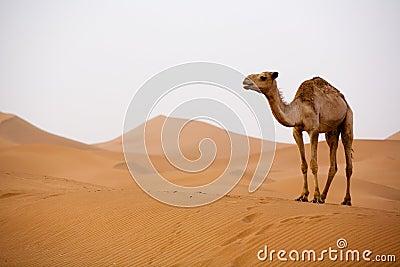 Kameel in de Sahara