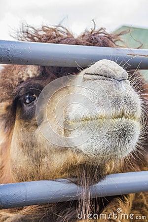 Kamel av staketet.