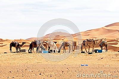 Kamel i öknen