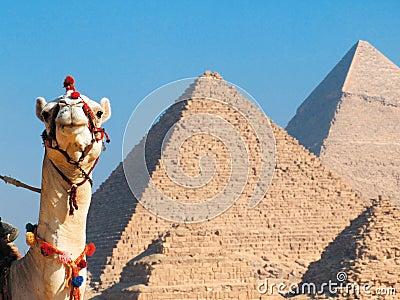 Kamel och pyramider