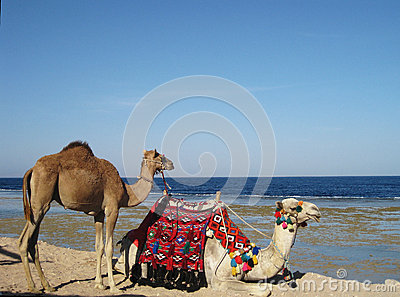 Kamel på en kustlinje