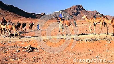 Kamelen in de Woestijn van de Sahara