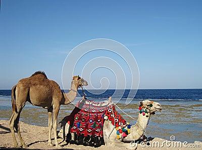 Kamelen op een kustlijn