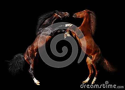 Kampf der Pferde