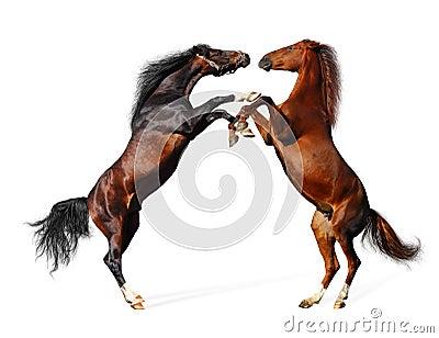 Kampfpferde