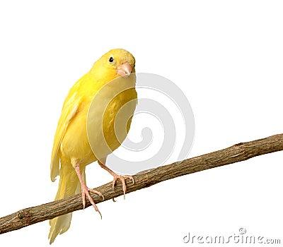 Kanariefågel