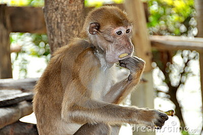 Kanchanaburi, Thailand: Monkey Eating Banana