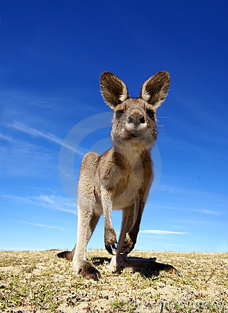 Free Kangaroo Stock Photo - 10468110