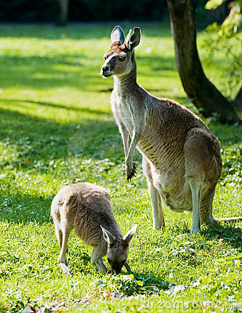 Free Kangaroo Stock Photos - 11432463