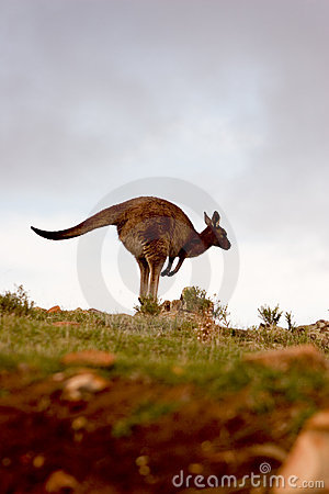 Free Kangaroo Royalty Free Stock Photo - 1166215