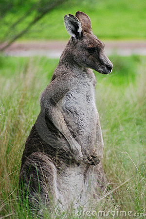 Free Kangaroo Royalty Free Stock Photo - 122045