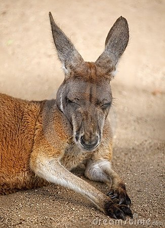 Sleeping Male Red Kangaroo