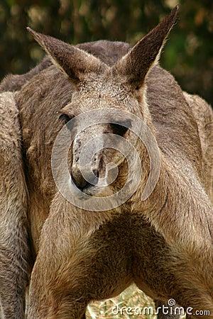 Kangaroo #2