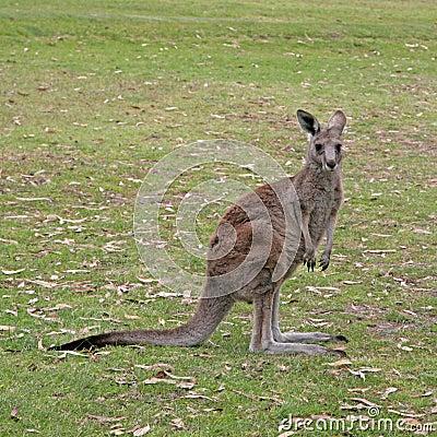 Free Kangaroo Royalty Free Stock Image - 6918746
