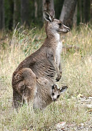 Free Kangaroo And Joey Stock Image - 1711431