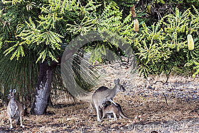 Kangaroo and drinking Joey