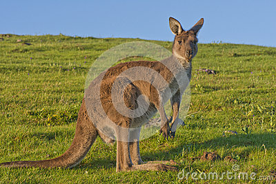 Kangaroo at Dusk