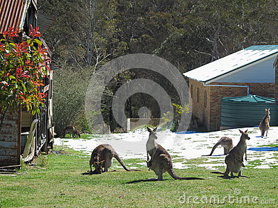 Kangaroos in snowy yard