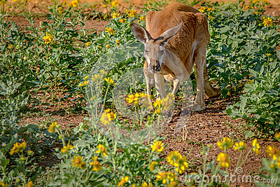 Kangaroo in Flowers