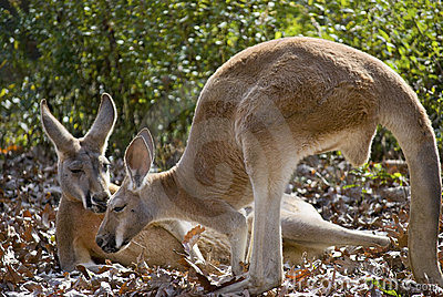 Kangaroo Friends