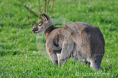 Kangaroo on a grass