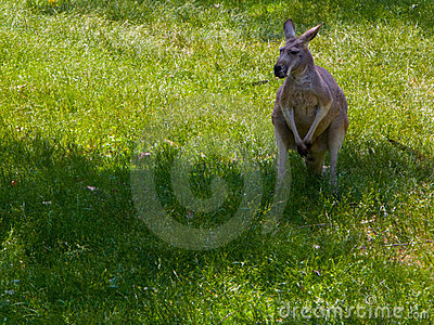 Kangaroo in the grass