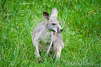 Kangaroo on green grass