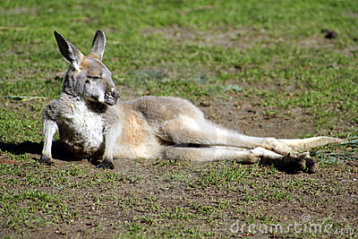 Kangaroo Joey, Australia