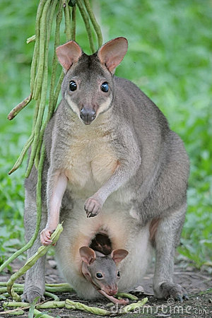 Kangaroo joey and mom
