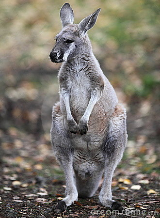 Kangaroo in nature