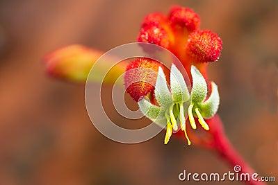 Kangaroo Paw flower in bloom