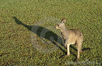 Kangaroo and shadow.