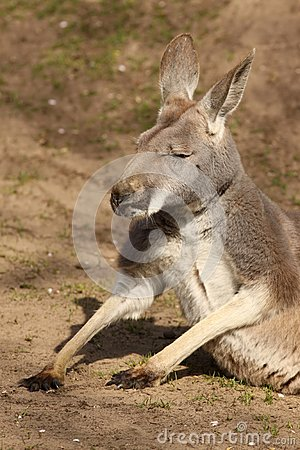 Kangaroo sitting on the ground