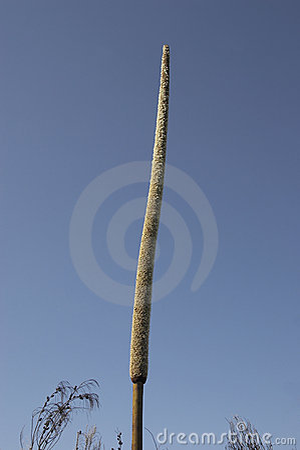 Kangaroo Tail