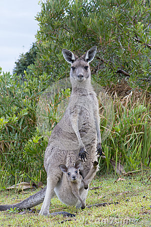 Free Kangaroo With A Baby Joey In Pouch Stock Photography - 37486952