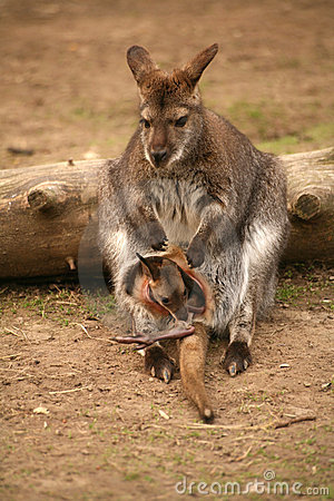 Free Kangaroo With Baby Royalty Free Stock Photos - 969868