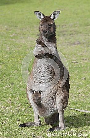 Free Kangaroo With Joey Stock Photo - 19240900
