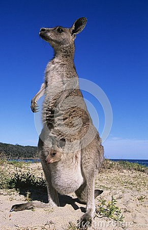 Free Kangaroo With Joey In Pouch On Beach Royalty Free Stock Image - 30846216