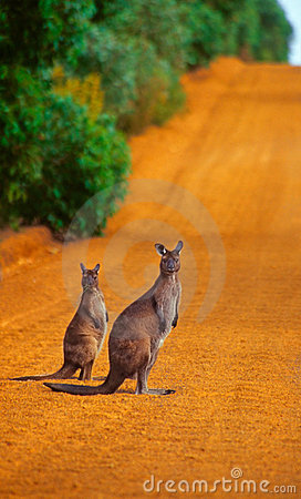 Free Kangaroos Crossing Royalty Free Stock Images - 8265679